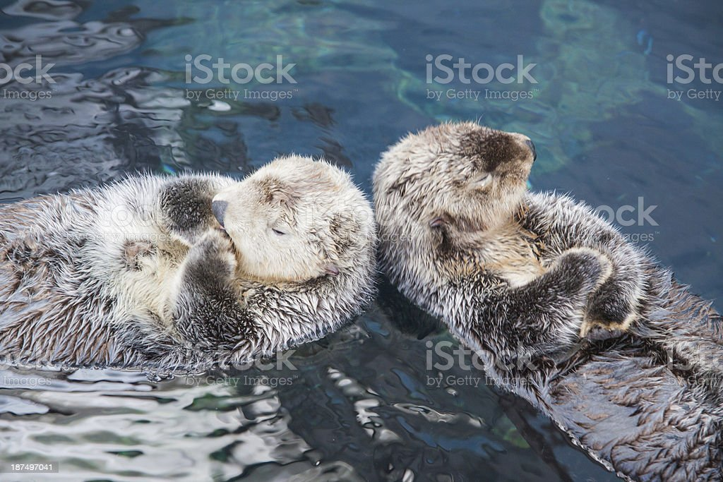 Couple of wild sea Otter resting in calm water stock photo