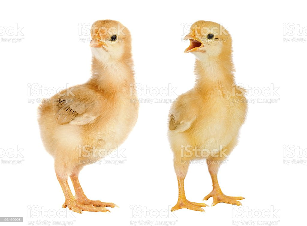Couple of yellow chickens royalty-free stock photo