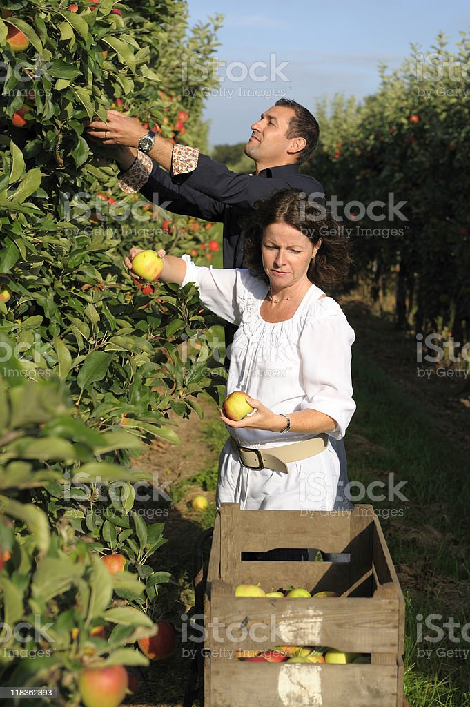 Couple picking apples in an orchard royalty-free stock photo