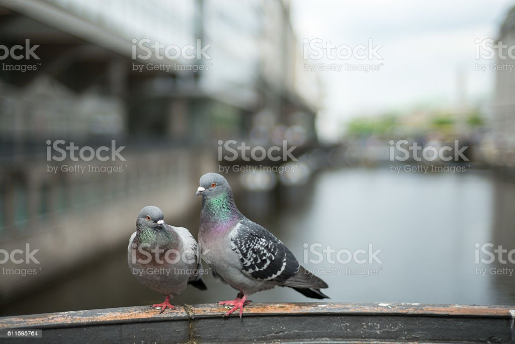 Couple pigeons in love stock photo