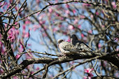 Couple pigeons on tree of pink flowers