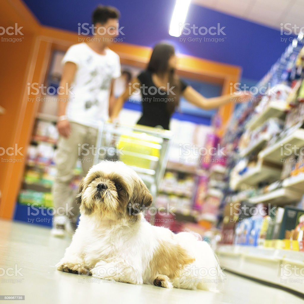 Couple Shopping in Pet Store with Shih tzu in Foreground stock photo