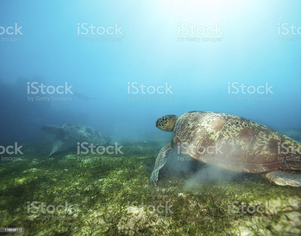 Couple turtles in deep water royalty-free stock photo