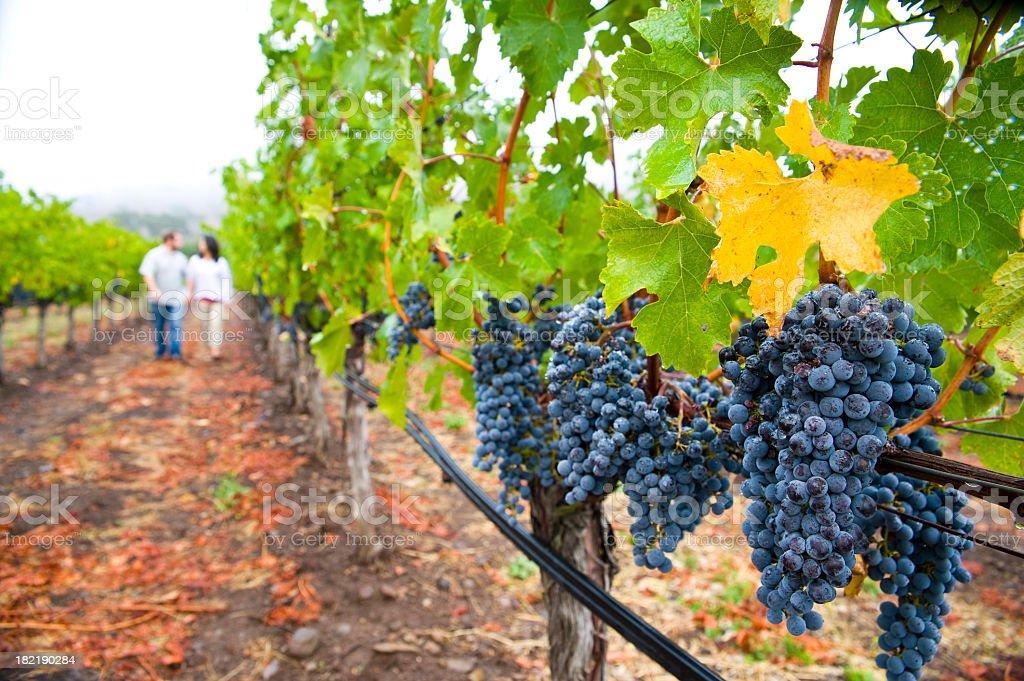 Couple walking among grape vines in Napa Sonoma California stock photo