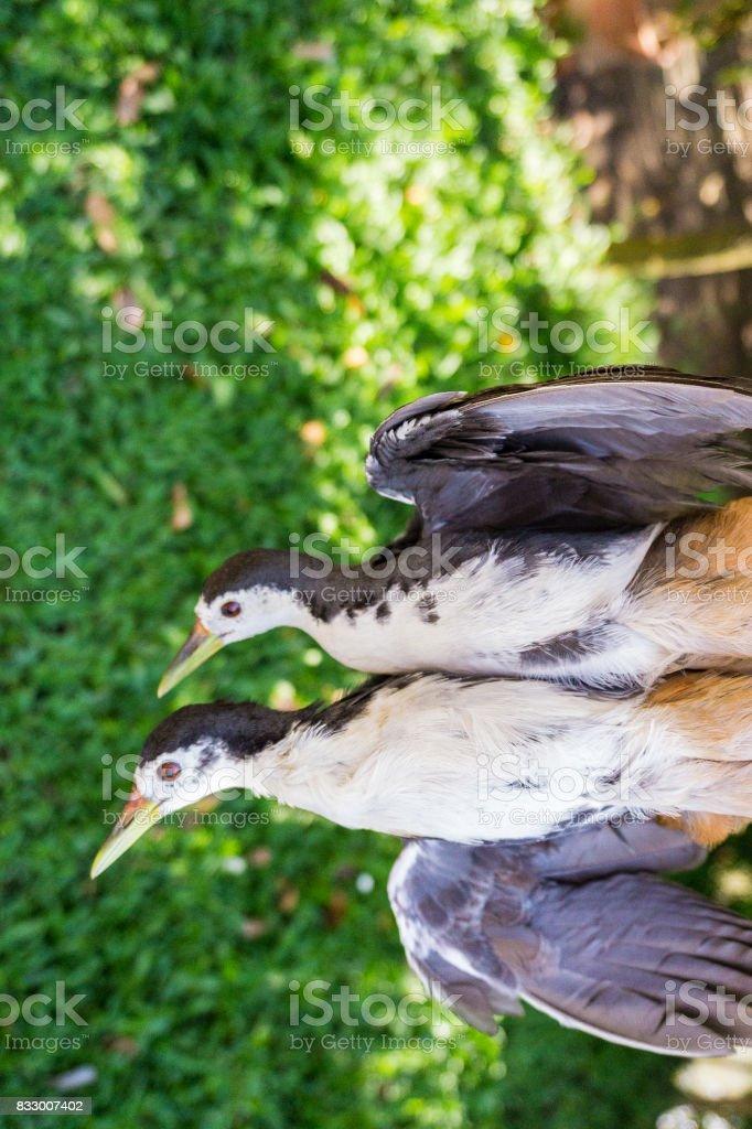 Couple White breasted Waterhen birds stock photo