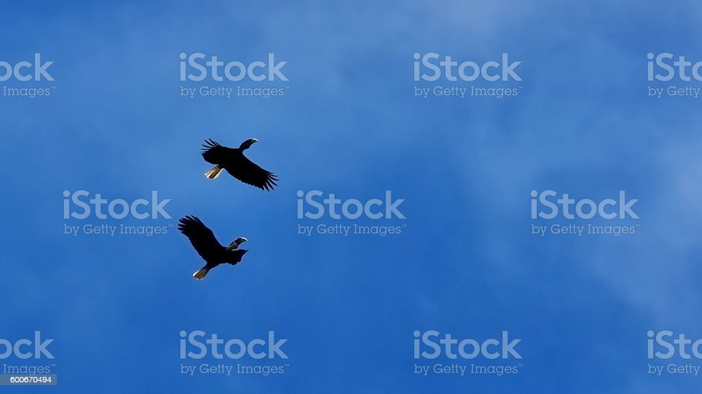 couple Wreathed Hornbill flying on the blue sky background stock photo