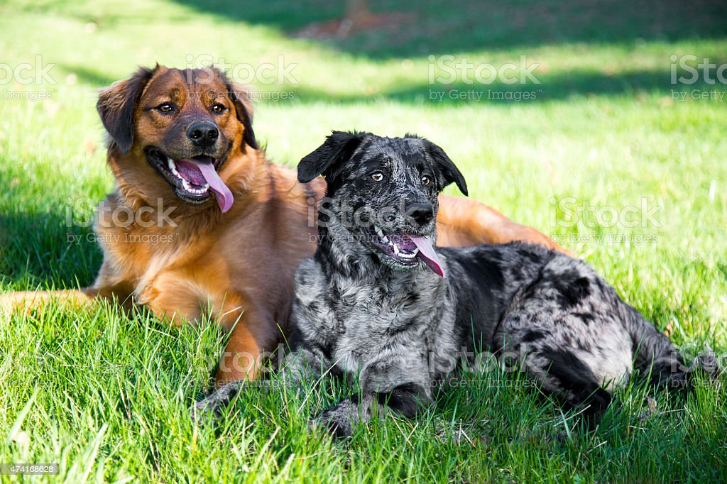 Couple young dogs lounging in the grass after playing stock photo