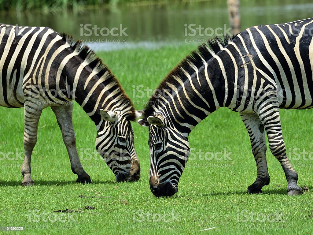 Couple zebra living and eating together in the green field royalty-free stock photo