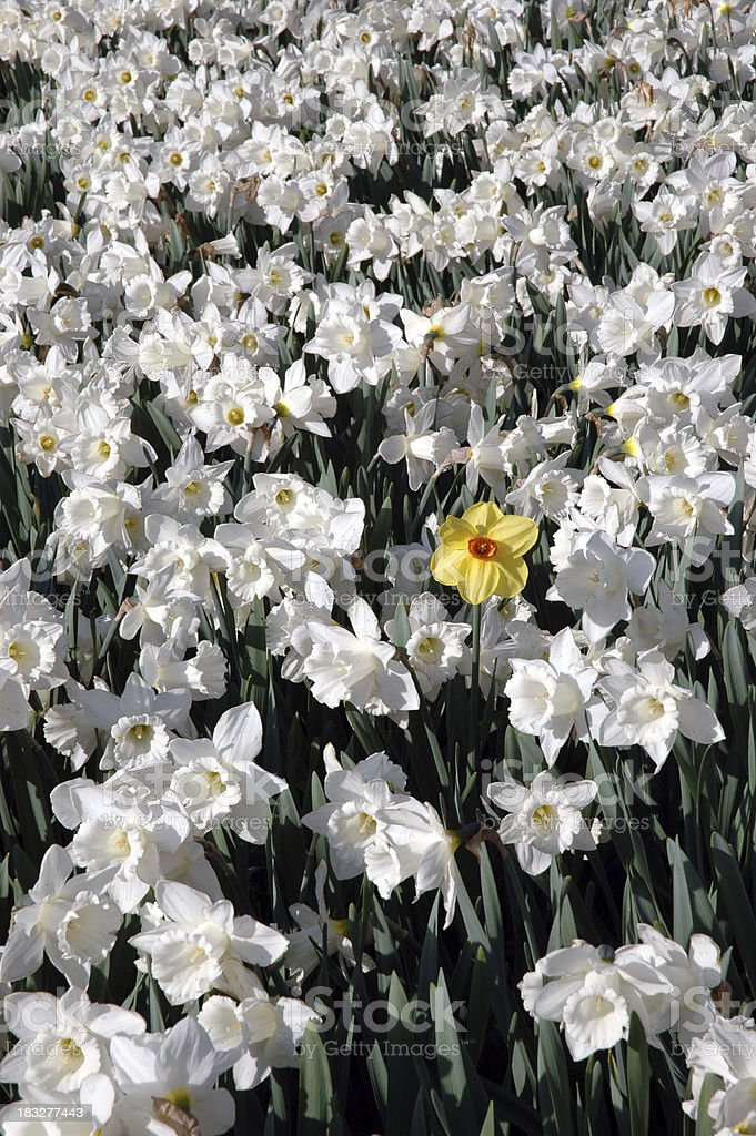Courageous Daffodil royalty-free stock photo