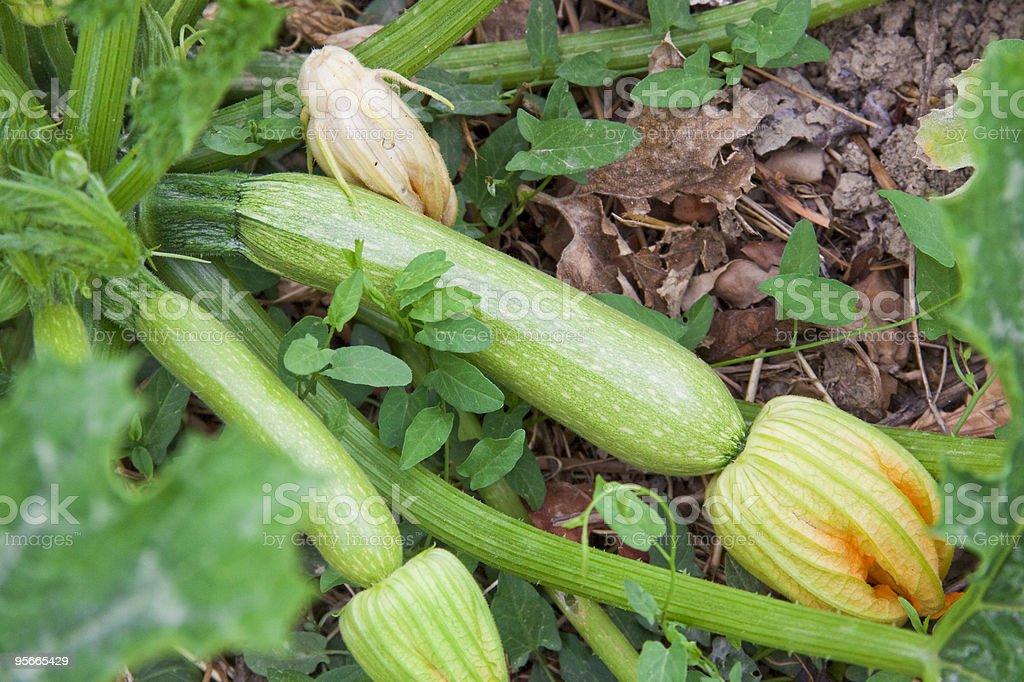 Courgattes ou courgettes en cuisine sur le jardin photo libre de droits