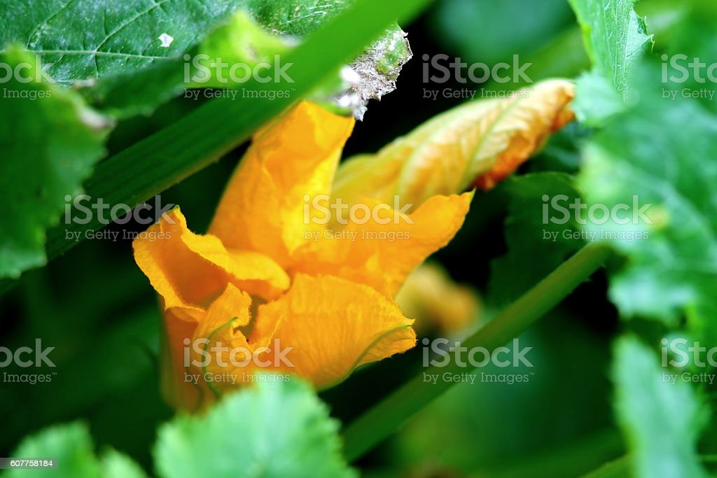 Courgette blossoming stock photo