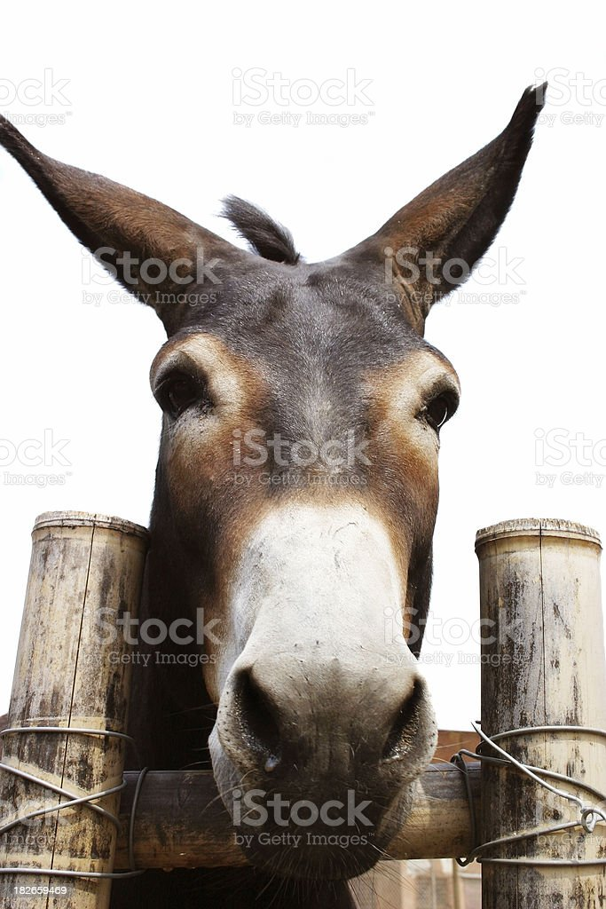 Courious donkey stock photo