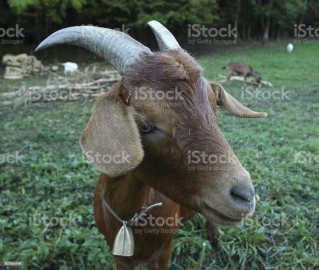 Courious goat royalty-free stock photo