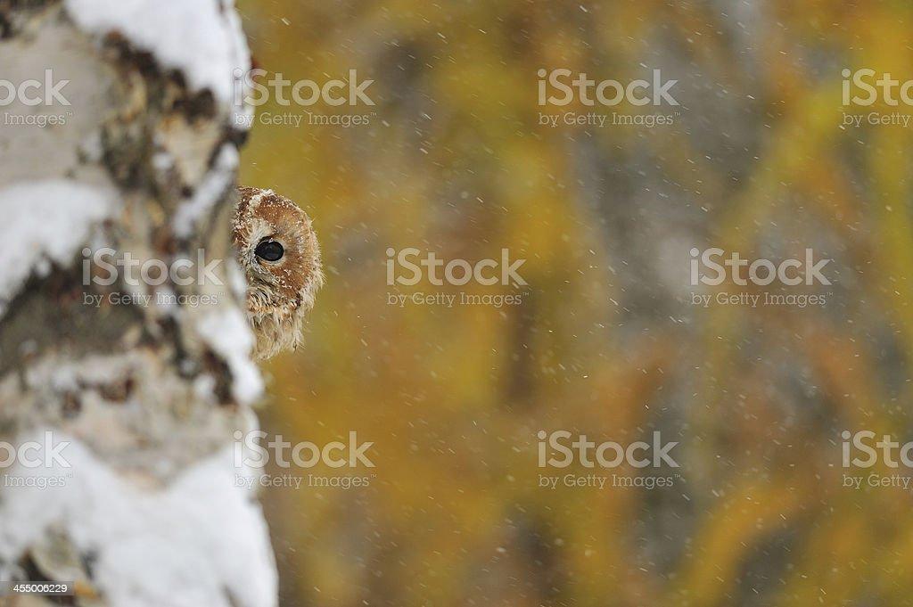 Courious tawny owl stock photo