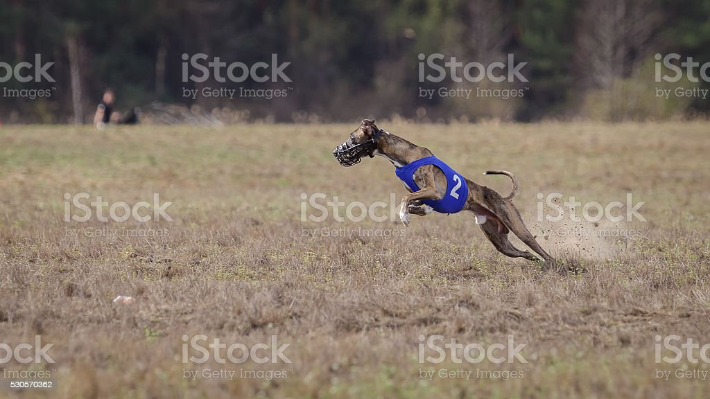 Coursing, passion and speed.  Whippet dog running. stock photo