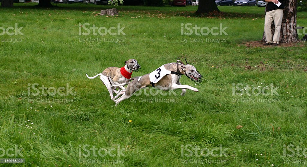 Coursing royalty-free stock photo