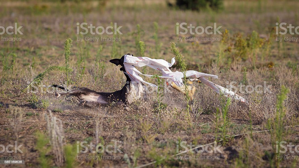 Coursing. Whippet dog catches the bait stock photo