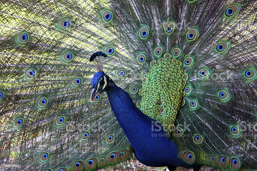 Courting Peacock stock photo