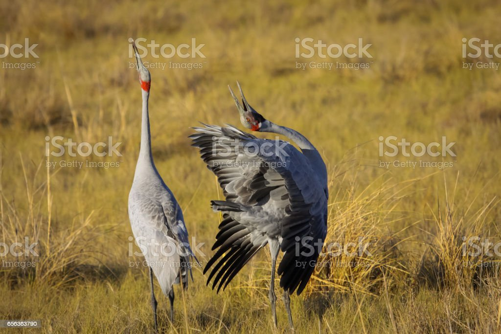 Courtship behavior of Brolgas stock photo