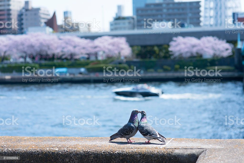 Courtship behavior of the pigeon stock photo