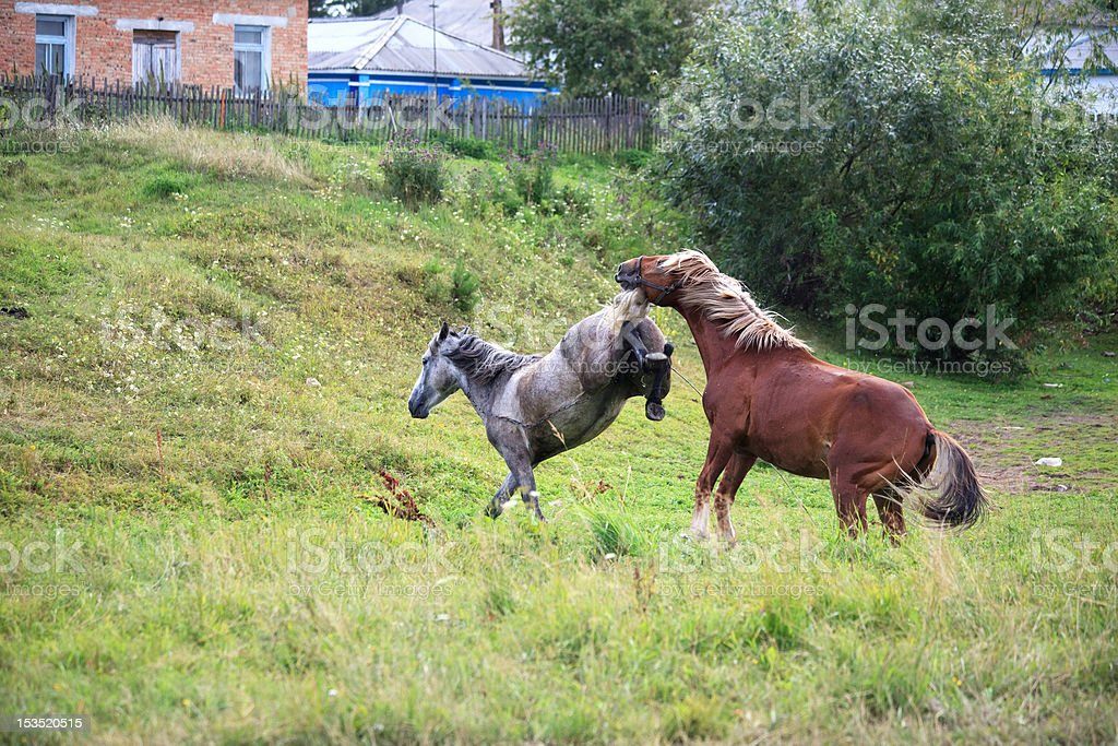 Courtship horses. stock photo