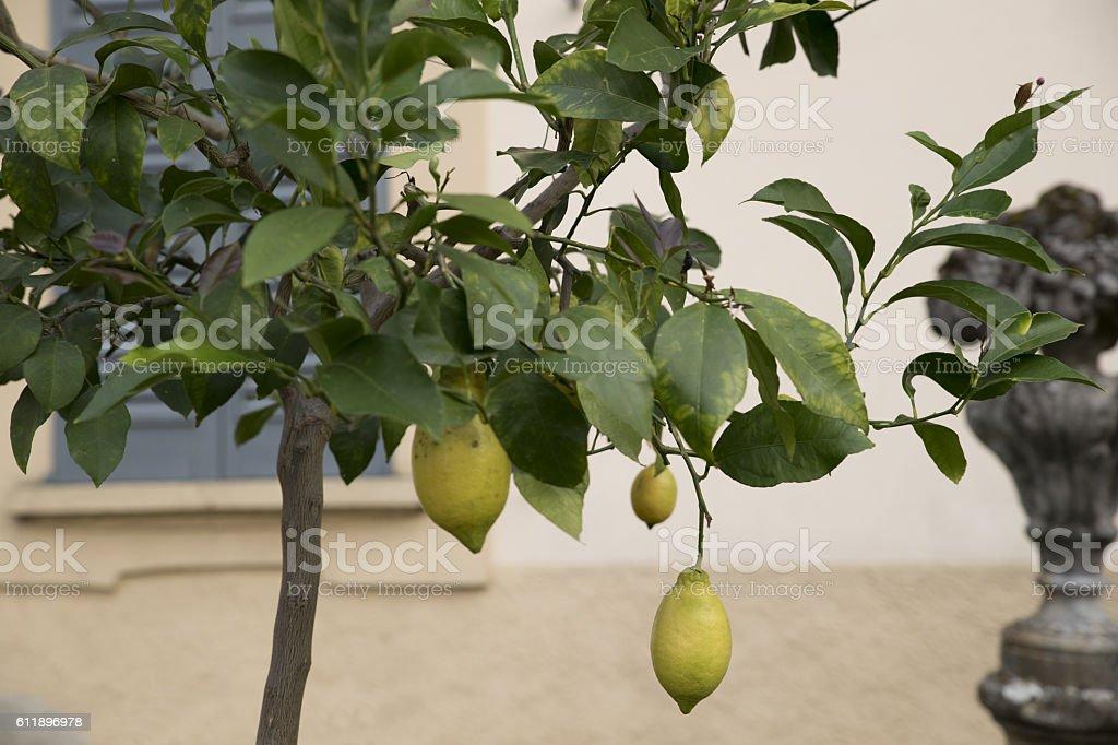 courtyard lemon tree stock photo