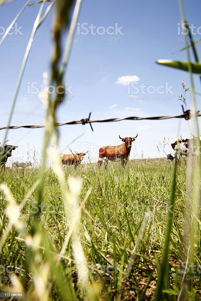 Cow 6 royalty-free stock photo