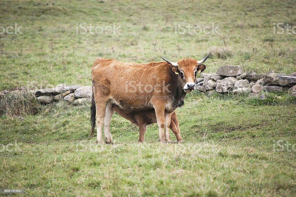 Cow and and calf royalty-free stock photo