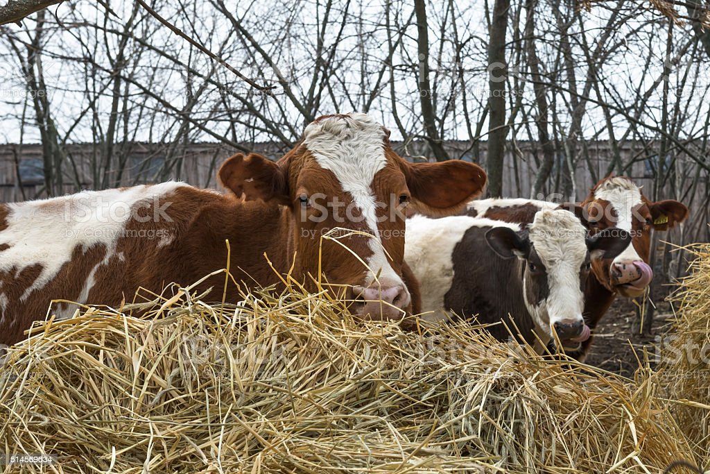 Cow and bull eat hay. Ukraine. March 7, 2016. stock photo