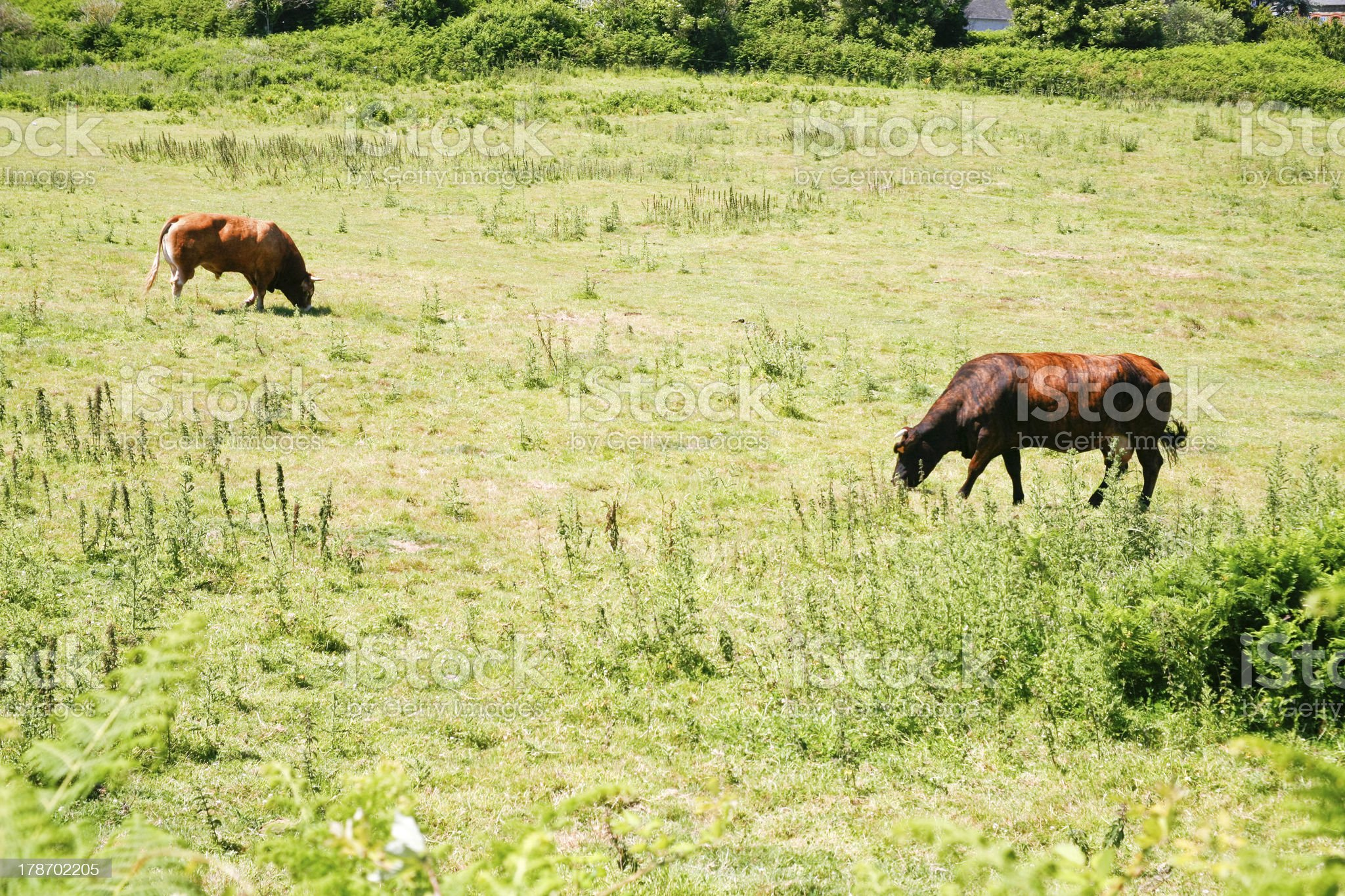cow and bull on green meadow royalty-free stock photo