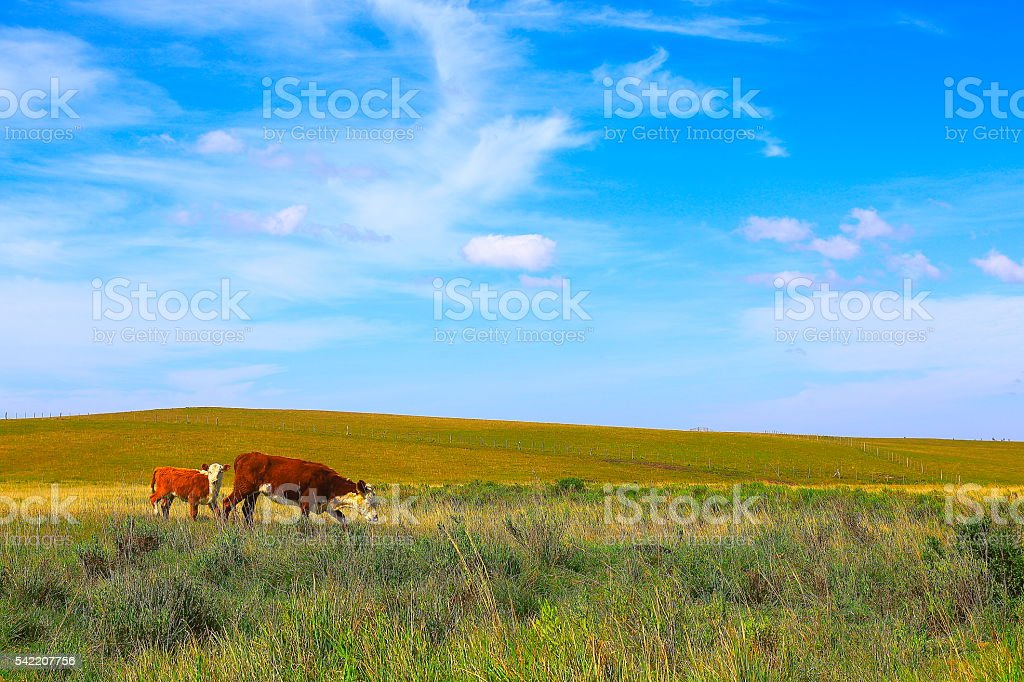 Cow and calf at sunrise, pampa countryside landscape, southern Brazil stock photo