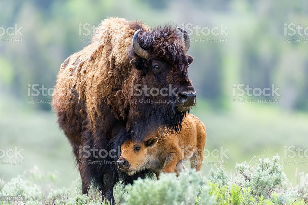 Cow and Calf Bison stock photo