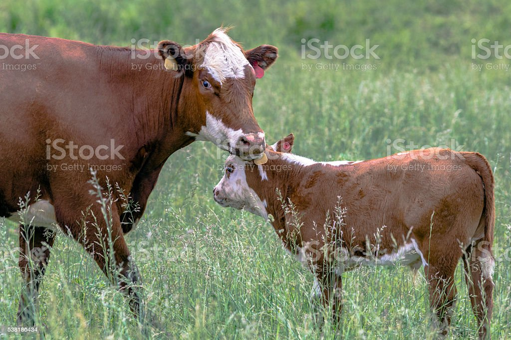 Cow and calf in a field stock photo