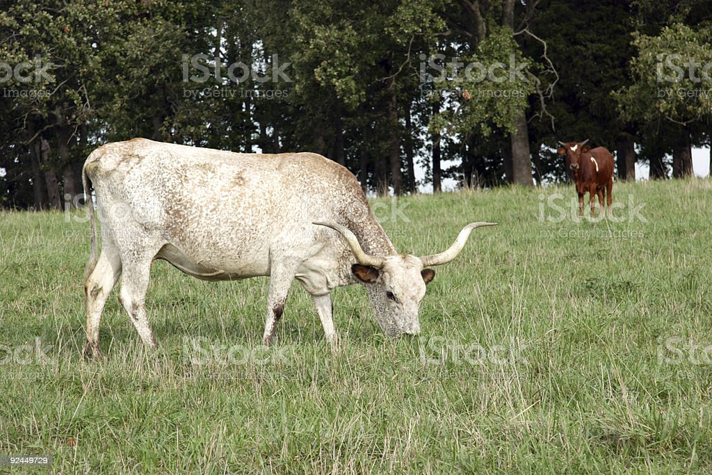cow and calf longhorns royalty-free stock photo