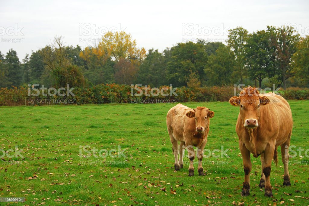 Cow and calf of the Charolais cattle. stock photo