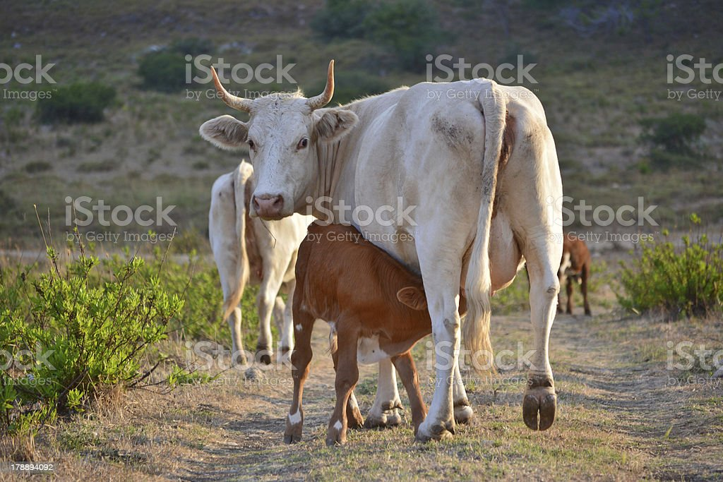 cow and calf royalty-free stock photo