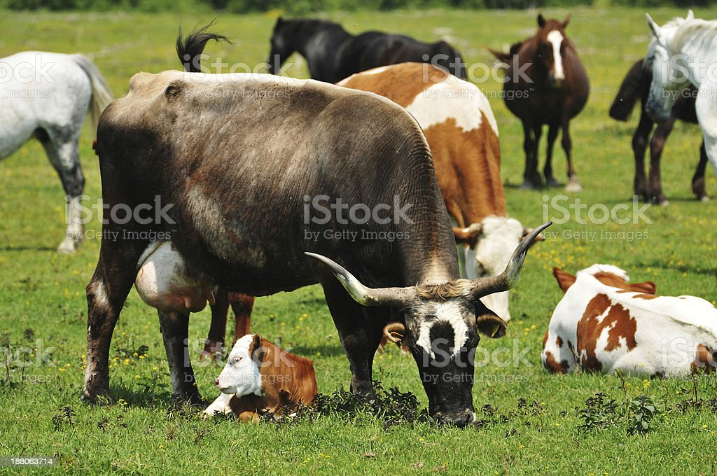 Cow and Calf stock photo