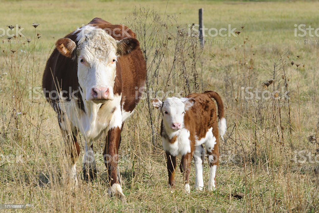 Cow and Calf Standing in Pasture Looking at Camera stock photo