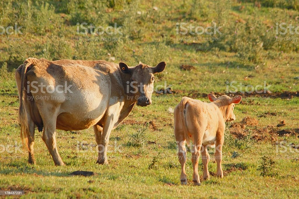 cow and calves stock photo