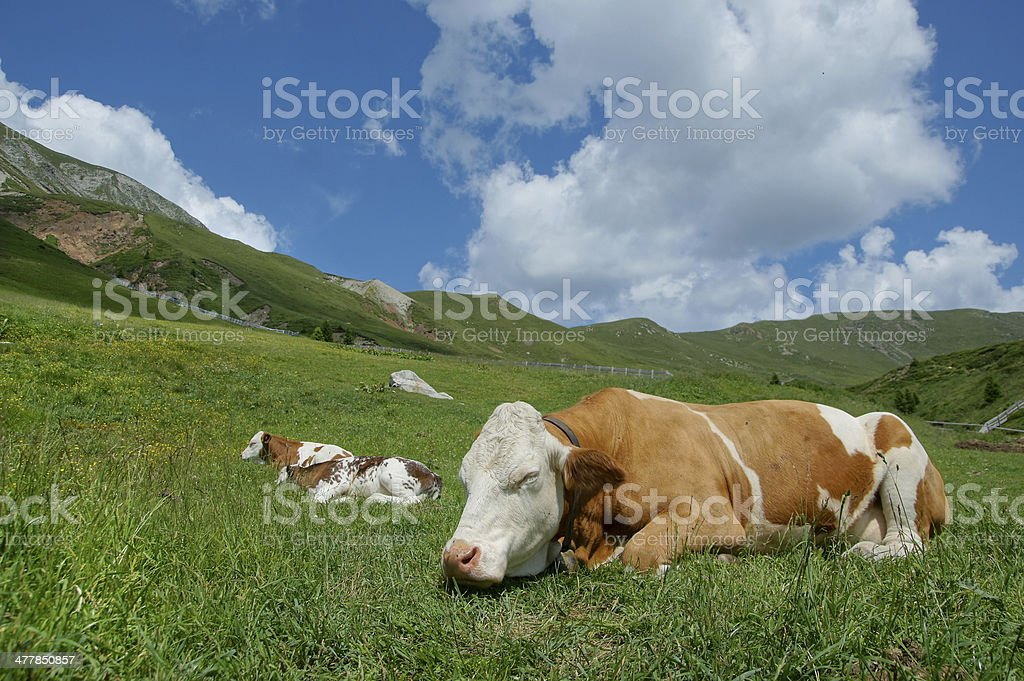 Cow and calves royalty-free stock photo