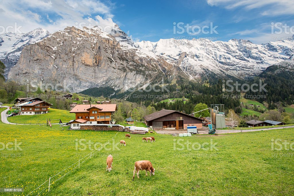 Cow and farmhouse in Grindelwald, Switzerland. stock photo
