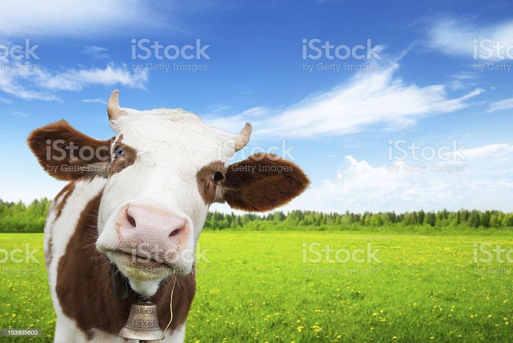 cow and field of fresh grass royalty-free stock photo