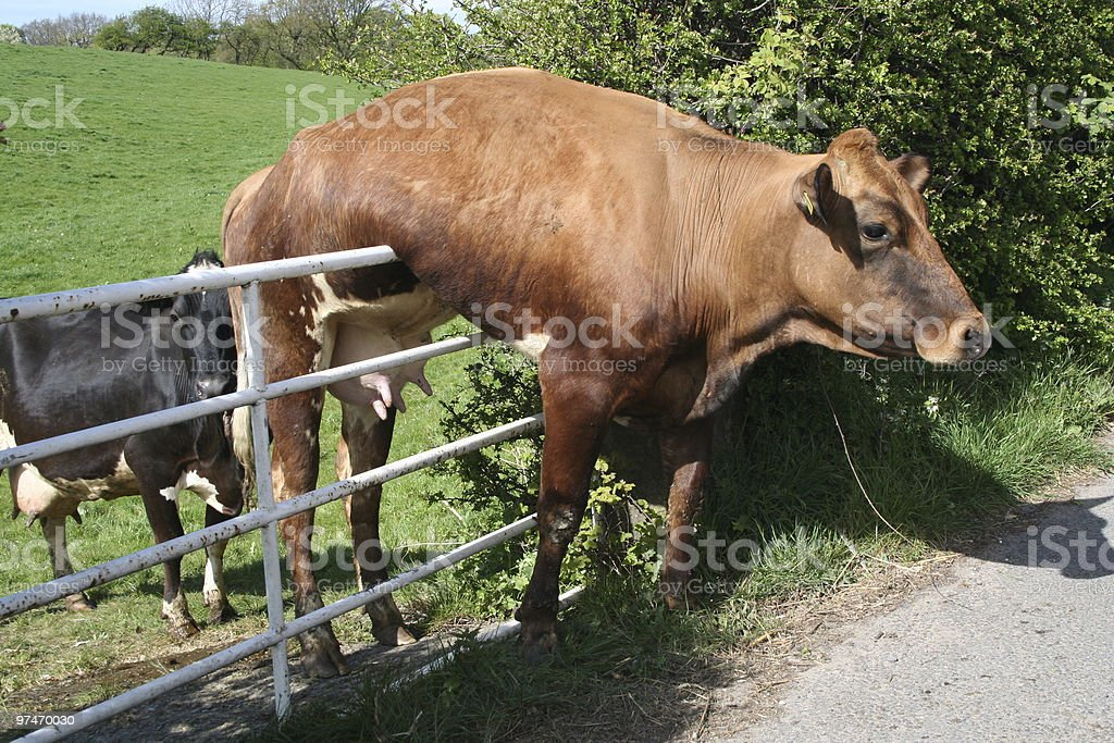 Cow and Gate. stock photo