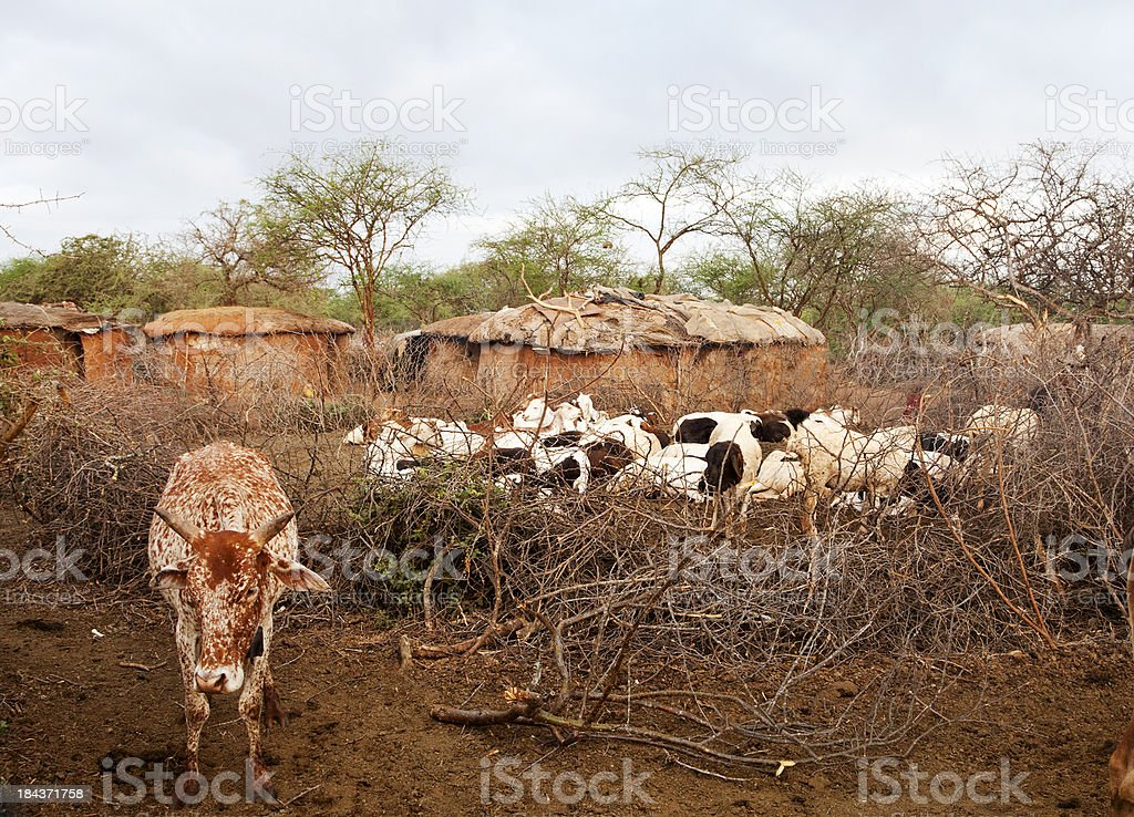 Cow and goats in Maasai village with mud huts. stock photo