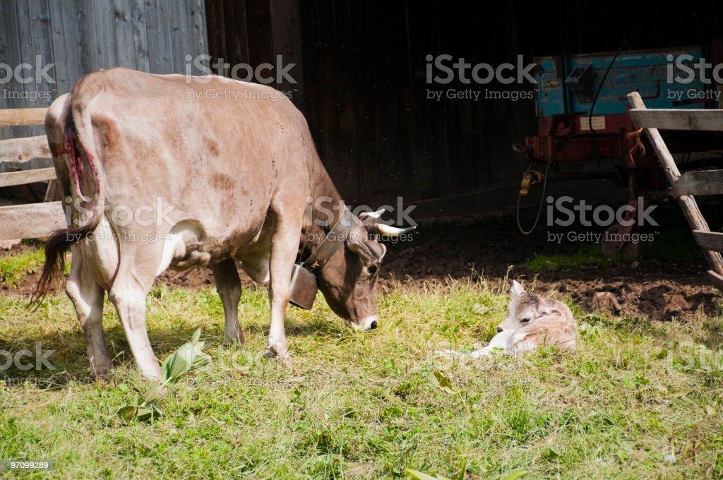 Cow and newborn calf stock photo
