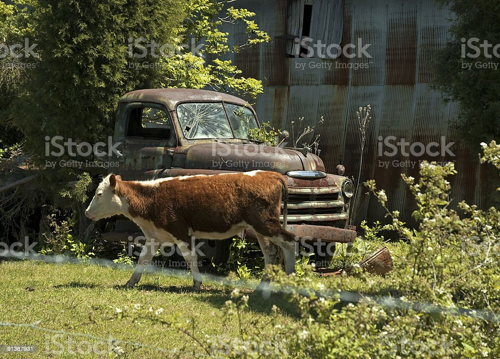 Cow and Rusted Out Old Truck royalty-free stock photo