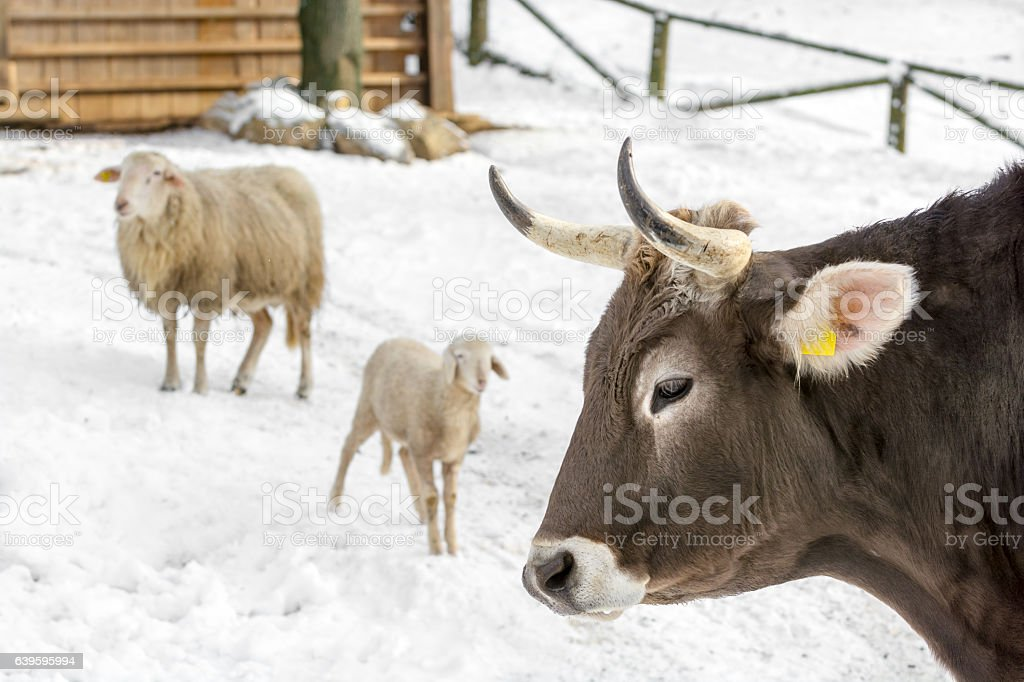Cow and sheep on farm in winter day stock photo