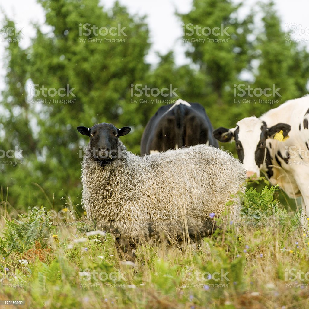 Cow and sheep royalty-free stock photo