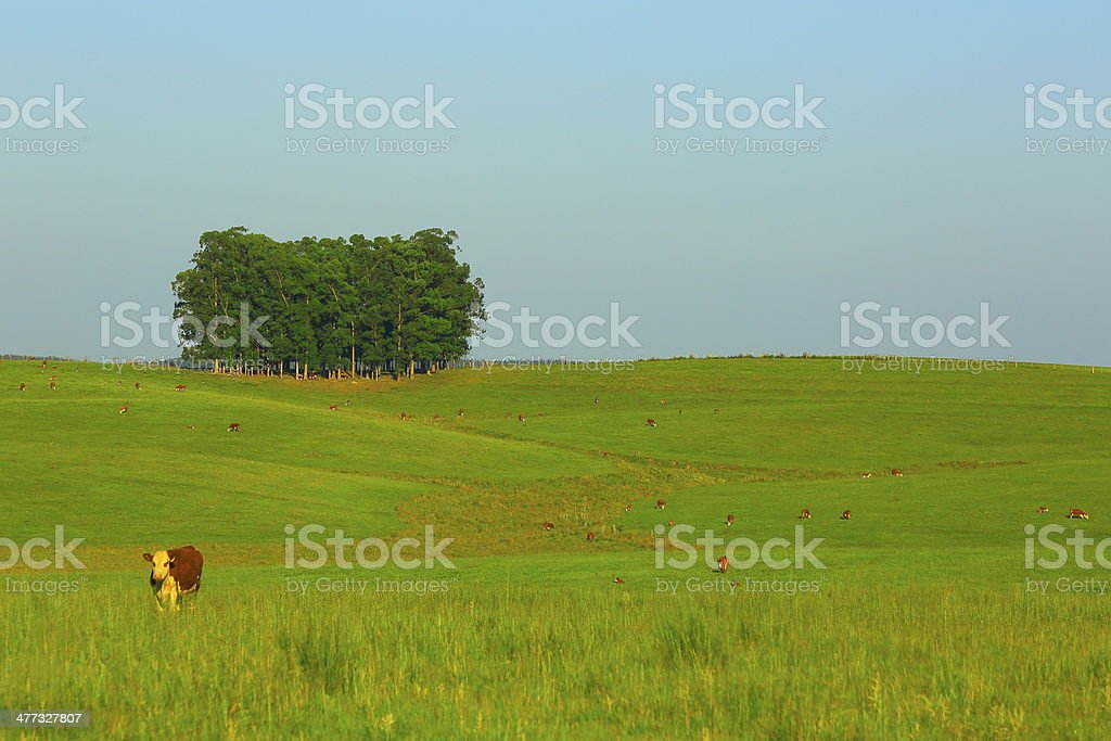 Cow and trees in green pampa gaucho field estancia stock photo