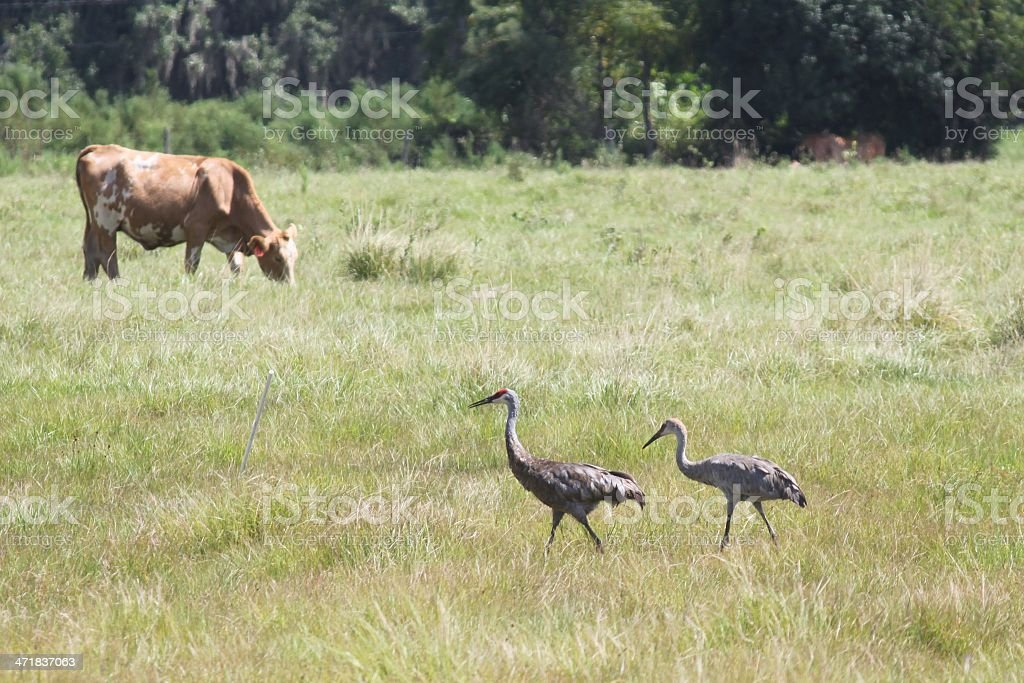 Cow and two birds stock photo